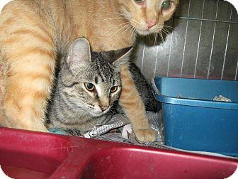 Domestic Shorthair Cat for adoption in Henderson, North Carolina - T.J & D.J