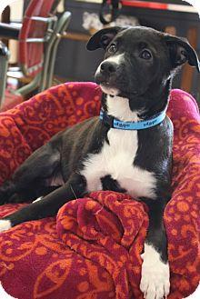 Labrador Retriever/Basenji Mix Puppy for adoption in Homewood, Alabama - Jasmine