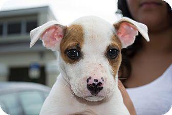 Pit Bull Terrier/Boxer Mix Puppy for adoption in Orlando, Florida - Eli