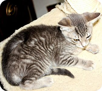 Domestic Shorthair Kitten for adoption in Brighton, Michigan - Tiger Lilly