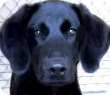 Labrador Retriever Puppy for adoption in Wakefield, Rhode Island - ROOSTER(GORGEOUS LAB PUPPY!