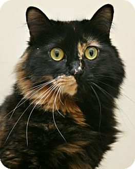 Domestic Longhair Cat for adoption in Bellingham, Washington - Lily