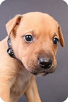 Labrador Retriever Mix Puppy for adoption in Joliet, Illinois - Spud