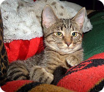 Domestic Shorthair Kitten for adoption in O'Fallon, Missouri - Valentina