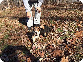 Beagle/Border Collie Mix Puppy for adoption in Washington, D.C. - Doc