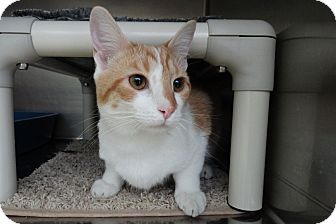 Domestic Shorthair Kitten for adoption in Elyria, Ohio - Whiskers