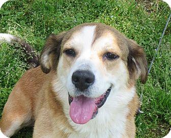 Corgi Mix Dog for adoption in Elizabeth City, North Carolina - Connie B.  URGENT
