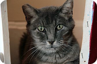 Domestic Shorthair Cat for adoption in St. Louis, Missouri - Selma