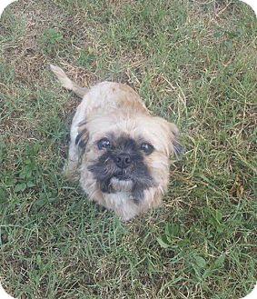 Pekingese/Shih Tzu Mix Dog for adoption in Snyder, Texas - Opie