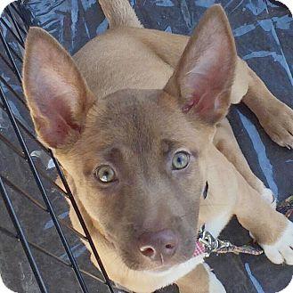 Shepherd (Unknown Type) Mix Puppy for adoption in CUMMING, Georgia - Mariah
