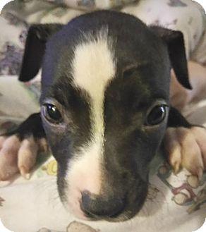 Labrador Retriever/Pit Bull Terrier Mix Puppy for adoption in Cincinnati, Ohio - Coal