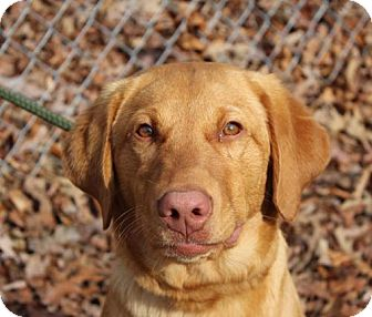 Labrador Retriever Mix Puppy for adoption in Washington, D.C. - Murphy
