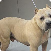 Adopt A Pet :: Bachelor - Greenville, SC