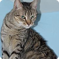 Adopt A Pet :: Miss Tabby - Brooklyn, NY