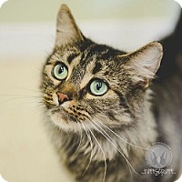 Domestic Mediumhair Kitten for adoption in Brougham, Ontario - Tina