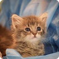 Domestic Shorthair Kitten for adoption in Dallas, Texas - Hobbs