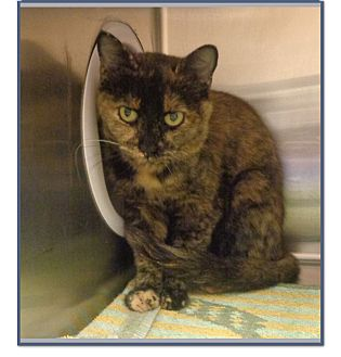 Domestic Shorthair Cat for adoption in Marietta, Georgia - ADRIANNA