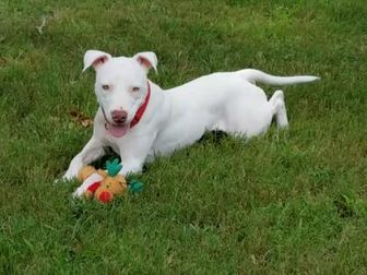 American Staffordshire Terrier Mix Dog for adoption in Clearwater, Florida - Salt