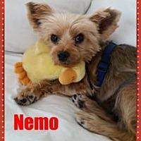 Adopt A Pet :: Nemo - Leesburg, FL