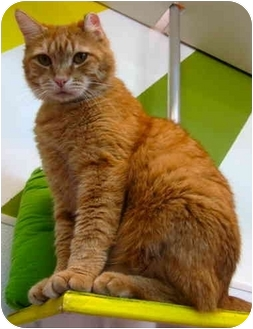 Domestic Shorthair Cat for adoption in Portland, Oregon - Wooster