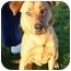 Photo 1 - Labrador Retriever/Shepherd (Unknown Type) Mix Dog for adoption in Auburn, California - Gilbert