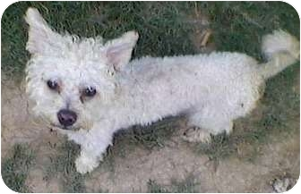 Westie, West Highland White Terrier/Poodle (Toy or Tea Cup) Mix Dog for adoption in Mansfield, Texas - Rudolph