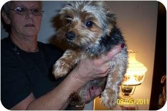 Yorkie, Yorkshire Terrier Dog for adoption in Washburn, Missouri - Little Skeeter