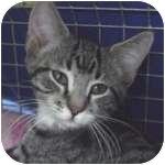 Domestic Shorthair Kitten for adoption in Wheaton, Illinois - Joan Jett