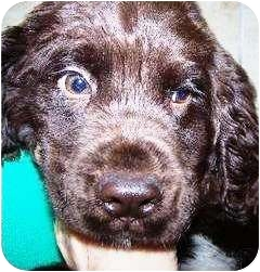 Goldendoodle Mix Puppy for adoption in Oswego, Illinois - I'M ADOPTED YooHoo Rademaker
