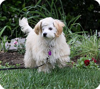 Maltese/Poodle (Toy or Tea Cup) Mix Puppy for adoption in Newport Beach, California - ALISSA
