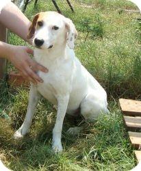 Pointer Mix Dog for adoption in Spring Valley, New York - Julie (URGENT) Reduced