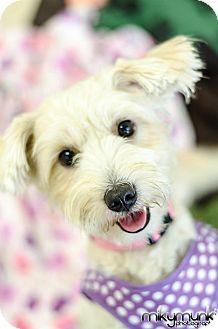 Schnauzer (Miniature)/Maltese Mix Dog for adoption in Brea, California - Daphne