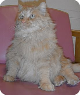 Domestic Longhair Cat for adoption in Jackson, Michigan - Bella
