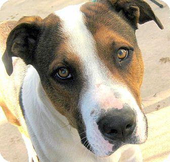 Rottweiler/Treeing Walker Coonhound Mix Dog for adoption in Oakley, California - Yukon
