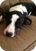 Border Collie/Terrier (Unknown Type, Medium) Mix Dog for adoption in Marietta, Georgia - Oreo