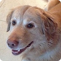 Adopt A Pet :: Ike - New Canaan, CT