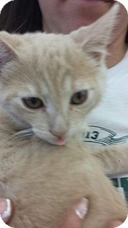 Domestic Shorthair Kitten for adoption in Tracy, California - Bailey-ADOPTED!