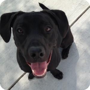 Labrador Retriever Mix Dog for adoption in Naperville, Illinois - Jerry