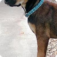 Adopt A Pet :: Amos - Gilbert, AZ