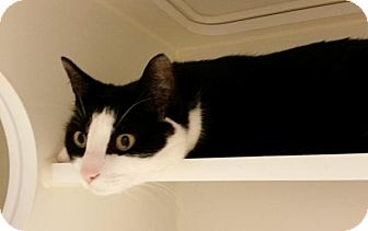 Domestic Shorthair Cat for adoption in Bellingham, Washington - Story