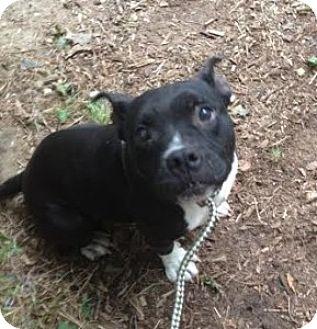 American Pit Bull Terrier Mix Dog for adoption in Medford, Massachusetts - Nana