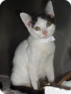 Domestic Shorthair Cat for adoption in East Brunswick, New Jersey - Patch