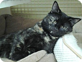 Domestic Shorthair Cat for adoption in Richmond, Virginia - Catherine