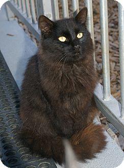 Domestic Longhair Cat for adoption in San Pablo, California - VALENTINO