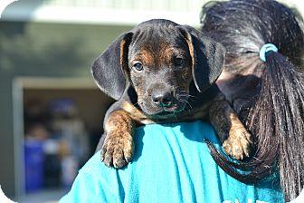 Pointer Mix Puppy for adoption in Acworth, Georgia - Peanut - Nut Litter