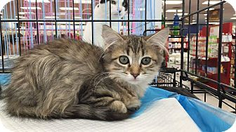 Maine Coon Kitten for adoption in Old Bridge, New Jersey - Star