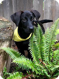 Labrador Retriever/Hound (Unknown Type) Mix Puppy for adoption in Portland, Oregon - Sunshine