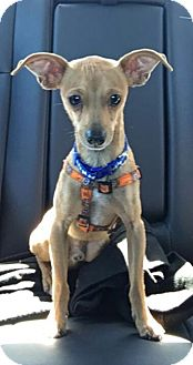 Chihuahua Mix Puppy for adoption in San Diego, California - Jackson