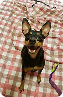 Miniature Pinscher Dog for adoption in Smithtown, New York - Kramer