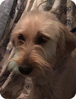 Schnauzer (Miniature)/Terrier (Unknown Type, Medium) Mix Dog for adoption in Pennigton, New Jersey - Patty